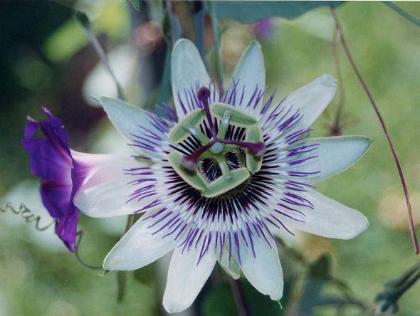 BUSQUEMOS HERMOSAS FLORES - Página 10 20060321220750-pasion-flor